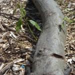 oak log sprout DSCN0815